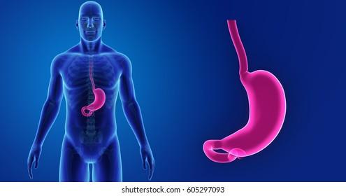 stomach anterior view 3d illustration
