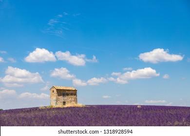 Stone cottage in the middle of a field of lavender (lavandin) on the Plateau de Valensole, Puimoisson, Verdon Regional Nature Park, Alpes-de-Haute-Provence, France
