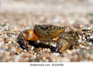 Stone Crab (Eriphia verrucosa) on the background of pebbles