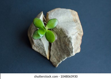 Stone cracked in two parts by the small green succulent plant. Dark blue, close to black background. Motivational concept of stamina, strength, hope, achievement, treatment, healthcare.