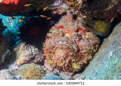 Stone fish and Moral Eel hiding under rocks in the reef in the Red Sea, Egypt