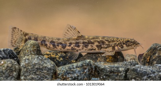 Stone loach (Barbatula barbatula) is a species of fresh water ray-finned fish in the Nemacheilidae family. Fish resting on rocky river bottom.