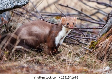 Stone marten, Martes foina, with clear green background. Detail portrait of forest animal. Small predator sitting on the beautiful green mossy tree trunk in the forest.