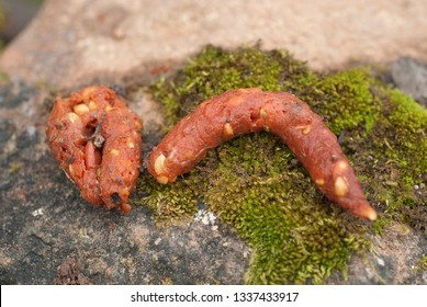 Stone Marten - Martes foina, excrement, nocturnal mammal