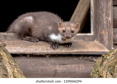 Stone Marten (Martes foina) also known as Beech Marten or House marten. resting and relaxing in window sill of barn