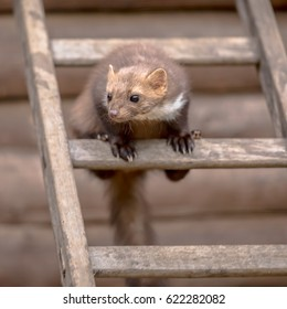 Stone Marten (Martes foina) also known as Beech Marten or House marten. Sitting and looking on a ladder to an attic