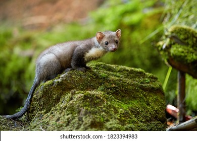 Stone Marten, Martes foina, tiny forest predator resting on mossy stone. Spring time in spruce forest. Low angle photo, blurred nature background. Europe.