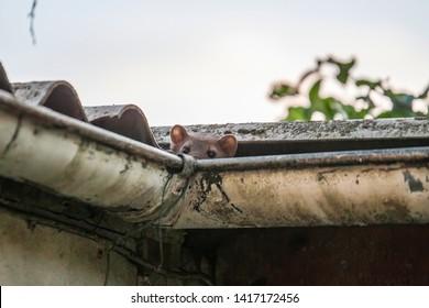 Stone marten peeks out of a gutter