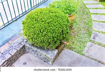 Stone path in garden with buxus plants Sempervirens and grass
