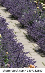 A stone pathway crosses diagonally lined either side with purple lavender bushes in a British country garden.Portrait view.