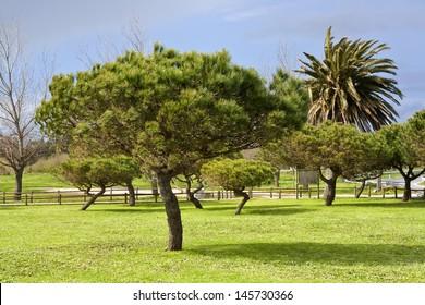 Stone pines on Bao park at Arousa Island