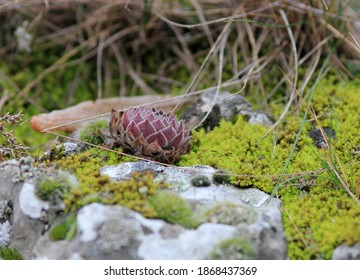 Stone rose Sempervivum on rocks in the forest