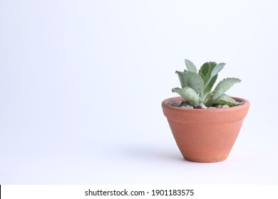 The stone rose is a succulent plant that grows in dry places