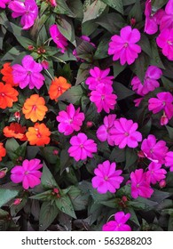Stone Roses Colorful of decoration artificial flower Winter season and the flowers in the garden are ready for Valentine's Day pattern field Pink begonia flowers in the garden