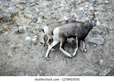 The Stone sheep (or Stone's sheep), Ovis dalli stonei, is a southern subspecies of Dall sheep, Ovis dalli, native to northwestern North America. Ewe and lamb.