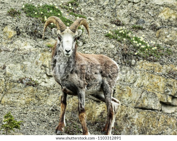 Stone sheep ram stares malevolently at viewer from side of Yukon mountain