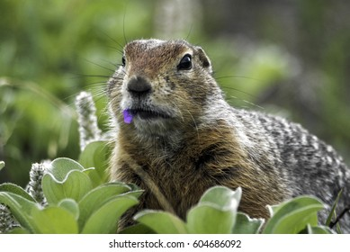 stone squirrel