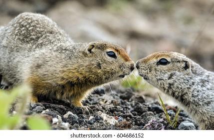 stone squirrels
