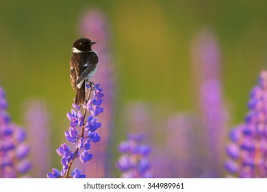 Stonechat in close up distance on a blue and purple lupine in very colorful  spring meadow lit by light of setting sun