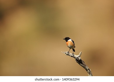 Stonechat male on the branch