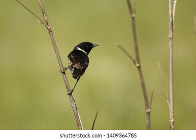Stonechat male sitting on plant stalk