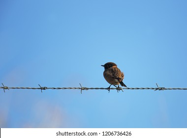 Stonechat on barbed wire