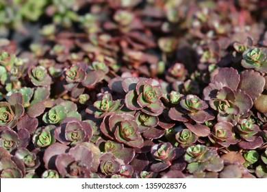 Stonecrop Dragons blood - Latin name - Sedum spurium Schorbuser Blut