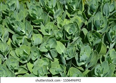 Stonecrop green leaves - Latin name - Hylotelephium spectabile Lisa
