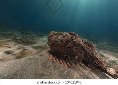 Stonefish in the Red Sea