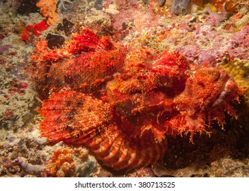 Stonefish Synanceia camouflaged against coral reef / Maldives