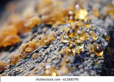 As the stones of amber splashed resin over the bark of the wood. Coniferous tree species close-up. Macro of amber resin droplets. The spring sun plays with rays and is reflected from the resin