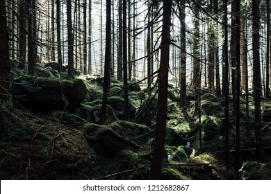 Stony forest floor and many of the old spruce