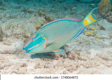 Stoplight parrotfish (Sparisoma viride) Bonaire, Leeward Islands