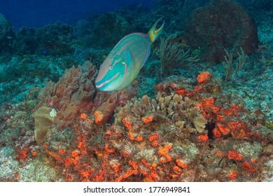 Stoplight parrotfish (Sparisoma viride) Cozumel, Mexico