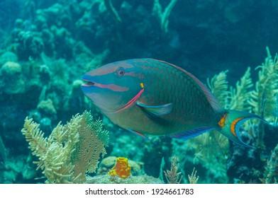 Stoplight parrotfish (Sparisoma viride) Roatan, Honduras