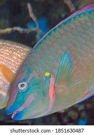 stoplight parrotfish ,Sparisoma viride is a species of marine ray-finned fish, a parrotfish from the family Scaridae