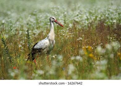 Stork - Shutterstock ID 16267642