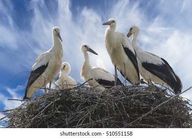 Stork with baby birds in the nest. Summer, blue sky.