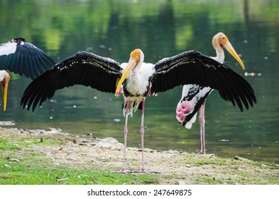Stork Bird in the Nature.