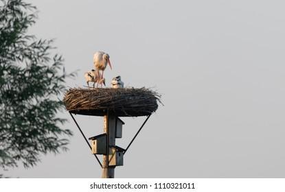 Stork Bird Nest with chicks