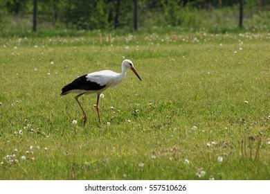 Stork, bocian, Ciconia - Shutterstock ID 557510626