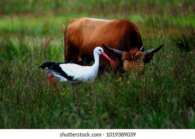 stork and cattle in the meadow