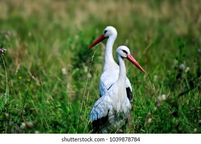 stork couple in nature