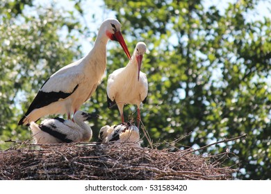 Stork Family on Nest, Wild Breeding Pair