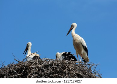 Stork family of two large and one small standing proudly in middle of nest with clear blue sky in background on warm summer day
