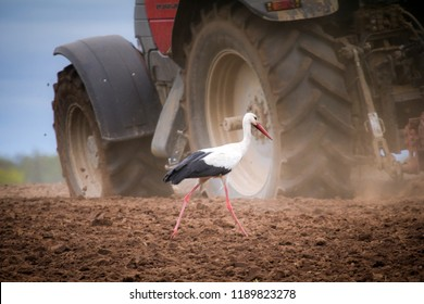 Stork feeding on plowed field and large tractor on background
