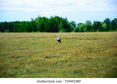 Stork in the field