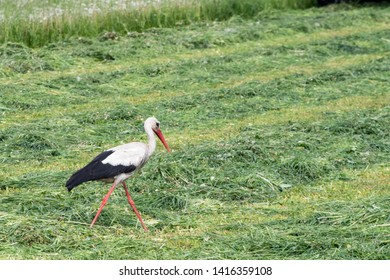 stork in a field of grass cut by a tractor during agricultural work. Wild stork hunting in a mown field. cohabitation of animals and man