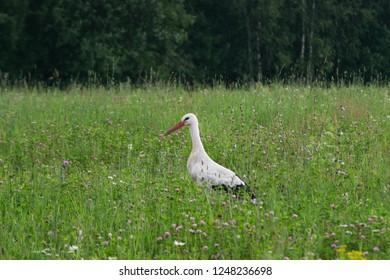 stork in the field in summer