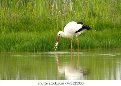 stork fishing
